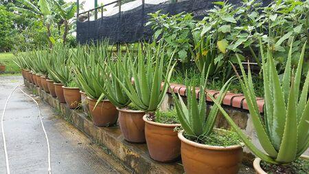 aloe vera plants in a black plastic pot