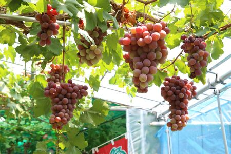 lots of purple grapes grow hanging on trees