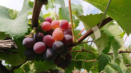 Purple grapes grow on the tree Zdjęcie Seryjne
