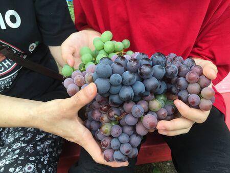 many purple grapes in human hands Zdjęcie Seryjne