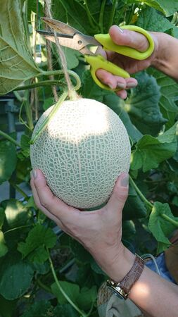 green melon ready to be harvested