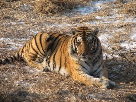 a tiger is sitting on a straw Stock Photo