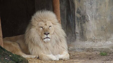 a white lion is sitting in a cage Stock Photo