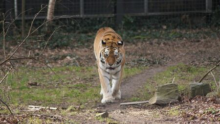 a tiger is walking on the grass in a cage