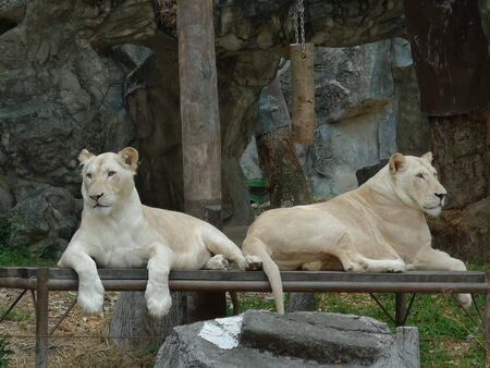 two white tigers are sitting on the wood