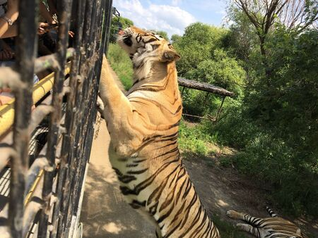 a tiger is climbing the fence to see visitors inside the zoo