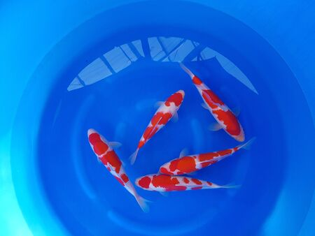 some fish are swimming in a blue container Stock fotó