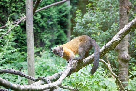 a monkey is hanging on a tree trunk with a forest background 스톡 콘텐츠 - 133551653