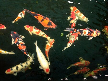 hordes of colorful fish are swimming in a pond