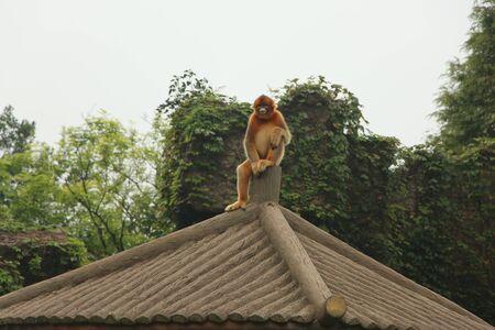 a brown monkey is sitting on the roof Foto de archivo - 133551659