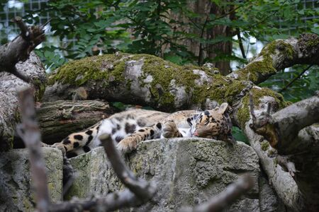 a leopard sleeping on a rock against a background of plants