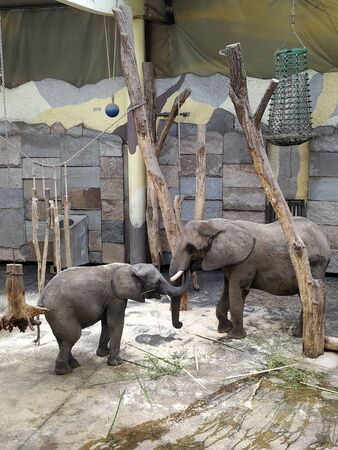 two elephants playing proboscis in a cage 스톡 콘텐츠 - 133551678