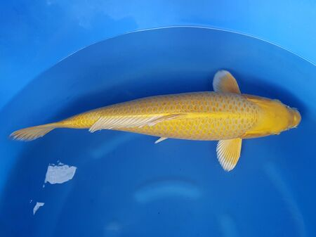 a golden fish is swimming in a container Stock fotó