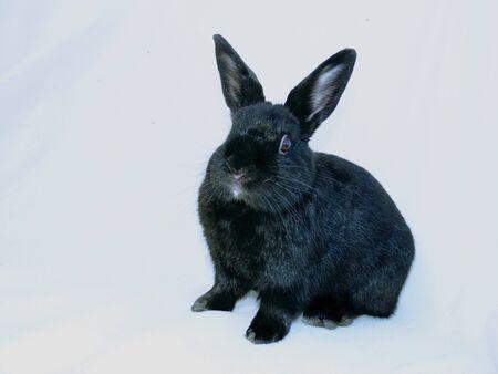 Black rabbit is stand on white background.Little grey bunny rabbit.Rabbit's eyes are like suffering. Foto de archivo
