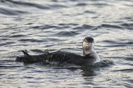 Common loon in winter plumage