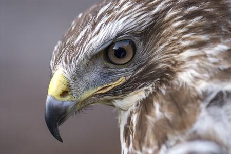 Portrait of common buzzard