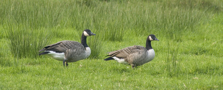 Couple of Canada Goose in Belgium