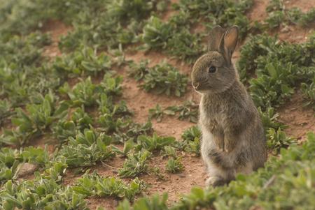 European Rabbit sitting up
