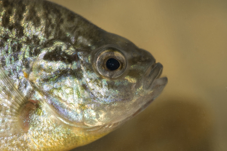 Pumpkinseed sunfish Stock Photo