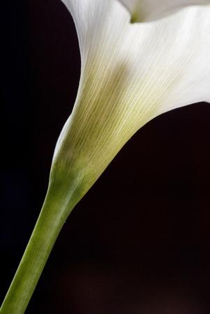 arum: Arum-lily on black background