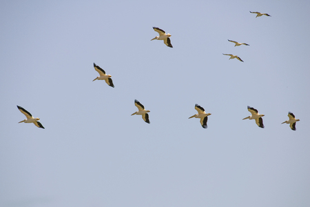 Formation of great white pelicans