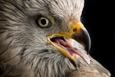 Portrait of Black Kite showing nice detail of eye and raptor beak Stock Photo