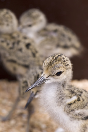 Juvenile Pied avocets in bird rescue center