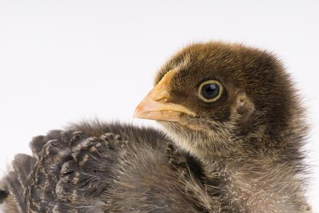 Portrait of brown chicken chick Stock Photo