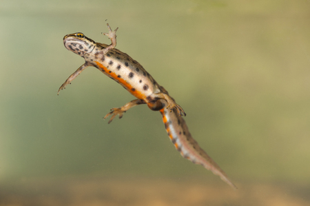 newt: Underwater images of the Palmate newt, a European amphibian