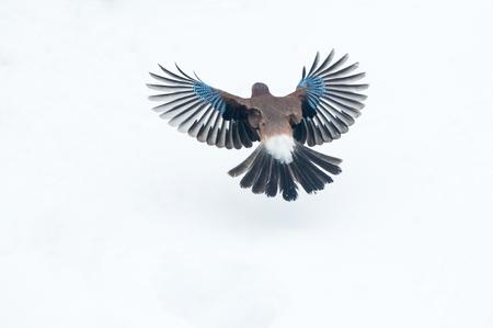Eurasian jay (Garrulus glandarius) flying over snow