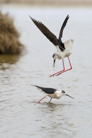 Territorial action and courtship behaviour of these black-winged stilts at laguna of the lAlfacada, under supervision of Monnatura Delta at Parc natural del delta de lEbre