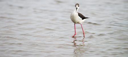Black-winged stilt panorama at laguna of the lAlfacada, under supervision of Monnatura Delta at Parc natural del delta de lEbre