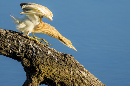 Juvenile squacco heron performing acrobatics on a branch in the water at the Parc natural régional de la Brenne
