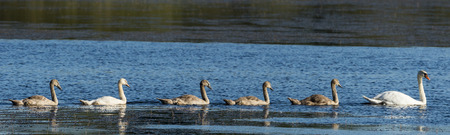 Family of mute swans panorama, the juveniles following the mother swan at parc naturel de la brenne