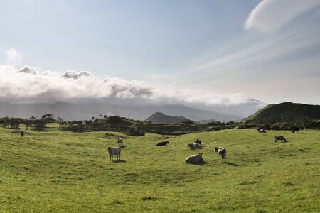 Dairy cattle farming on the countryside Planalto da Achada of Ilha do Pico Island, Azores, Portugal Stok Fotoğraf