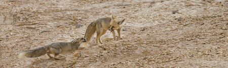 Playing couple of rüppell's fox, Vulpes rueppellii,  during a tourist tour in the Egyptian White Desert National Park