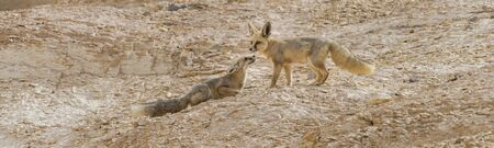 Couple of fox, Vulpes rueppellii,  during a tourist tour in the Egyptian White Desert National Park