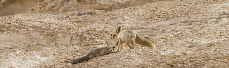 Amazing shot of couple of rüppell's fox, Vulpes rueppellii,  during a tourist tour in the Egyptian White Desert National Park