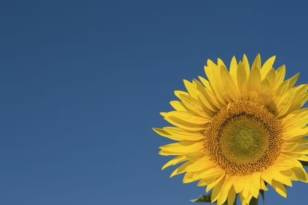 Sunflower, with blue sky. Stock Photo