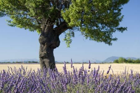 Lavender field with tree. Provence. France.