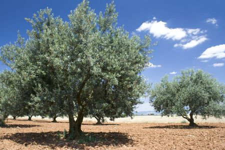 Olive. Olive tree with blue sky. Provence. Stock Photo