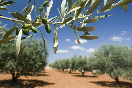 Olive branch in olive grove. Provence. France