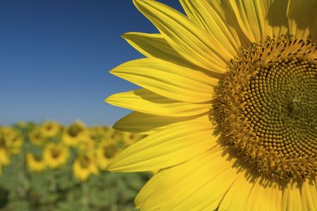 Sunflower, in field of sunflower. Provence.