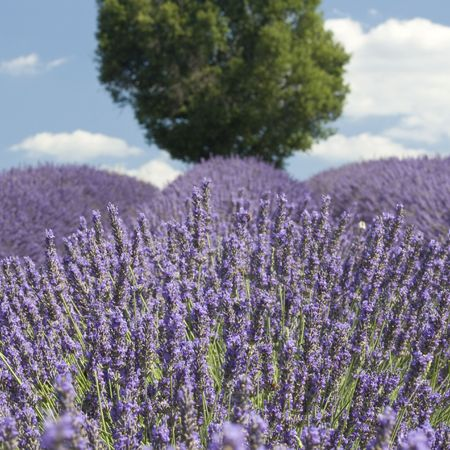 Lavender field with tree Provence France
