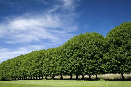 Tree in a row, blue summer sky