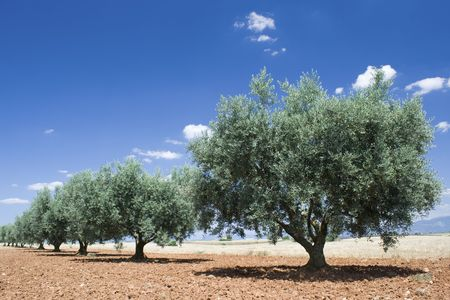 Olive tree in a row, Provence France