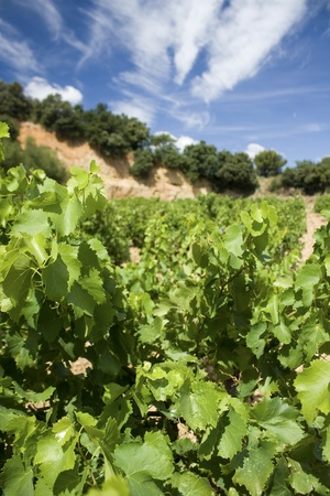 Vineyard, vine leaves. Provence France. Stock Photo