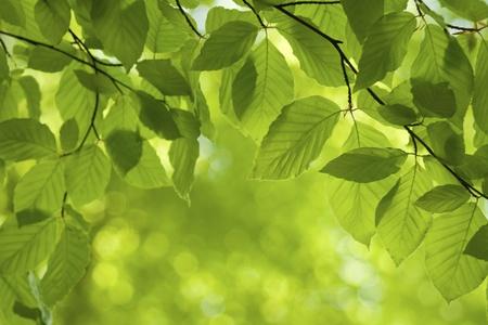 hojas de arbol: Frescas hojas verdes en primavera.