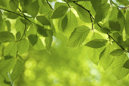 nature image: Fresh green leaves in springtime.