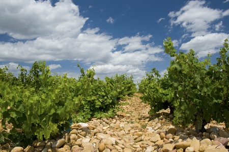 Vineyard, Chateauneuf-du-Pape. France.